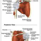 Anatomy of the Rotator Cuff