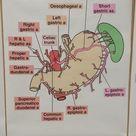 Celiac Trunk Lab Dr. Jackson