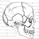 Skull Anatomy Labeling - Human Anatomy - GUWS Medical
