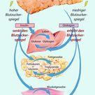 Physiologie Funktion Kontrainsulinäres System