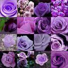 Purple Roses Wedding