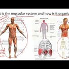 Muscular System - Structure and Function