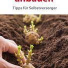 Kartoffeln anbauen für Selbstversorger