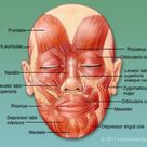 Muscles of the Face - Mimetic Muscles - Medical Art Library