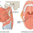 muscles langue anatomie – RechercheGoogle