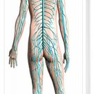 Box Canvas Print. Diagram of human nervous system, posterior view