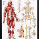 Musculoskeletal System Chart 22x28