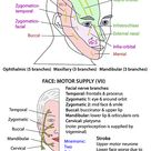 Head and Neck - Nerves - Cranial - VII supplying face