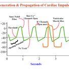 Rhythmical Excitation of Heart - howMed