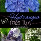 Hydrangea Care