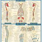 Anatomy 2   Quick Review Study Guide for Health Sciences Students
