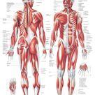 YOGISHOP | Das Muskelsystem | Yoga, Yogamatten & Yoga-Zubehör