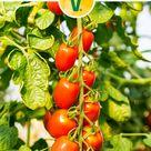 Tomaten pflegen & pflanzen. Tomatentipps für deine Tomatenpflanzen findest Du hier!