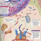 Proteinsynthese – Grundvorraussetzung für Muskelaufbau | Teil 1