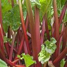 Rhabarber: So gelingen Pflanzung und Pflege