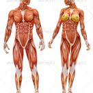 Male and Female musculoskeletal   Stock Photo   Images