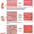 MUSCLE TISSUE: Muscle tissue is important for movement and is highly vascular to meet its energy demands. They are highly excitable cells specialized for contraction. There are three types of muscle tissue: skeletal, smooth and, cardiac. Refer to individual pictures for detailed descriptions.
