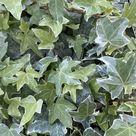 Ivy (Hedera) Trailing Silver 9cm Pot