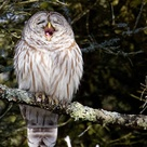 My Owl Jokes Are A Hoot Barred Owl Presqu Ile Provincial Park Brighton Ontario By Jeff Rogerson Barred Owl Owl Owl Photos