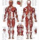 Muscle Anatomy Poster   Muscular System Anatomical Chart Company