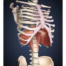 25cm Photo. Visualization of human diaphragm