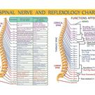 Spinal Nerve Function Chart Root Chart Chiropractic    Etsy
