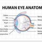 Download Diagram of human eye anatomy with label for free