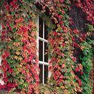 50 Boston Ivy / Japanese Creeper SEEDS (Parthenocissus tricuspidata)
