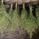 Sweet Mugwort Artemisia Annua Sweet Anni Wormwood Sagewort   Etsy