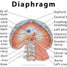 Diaphragm: Definition, Location, Anatomy, Function, Diagram
