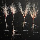 3d model of neuron anatomy
