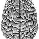 A1 Poster. Human brain anatomy engraving 1857