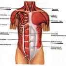 Abs Anatomy