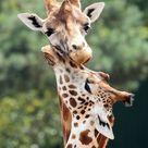 rothschild giraffe Beekse Bergen JN6A0736