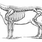 1000 Piece Puzzle. Sheep skeleton