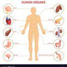 Human organs infographics vector image on VectorStock