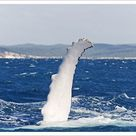 A1 Poster. Flipper, pectoral fin of a Humpback Whale Megaptera novaeangliae in Hervey Bay in front of Fraser Island, Queensland, Australia