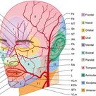 Arteries of the Face and Neck