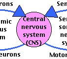 Human Physiology   Neurons & the Nervous System II