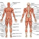 What Muscles Does Running Work - Run Trails