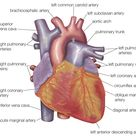 Your Heart Is an Amazing Organ, but Do You Know Its Anatomy?