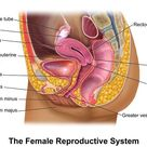 Human Female Reproductive System Diagram