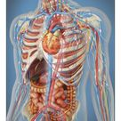 A1 Poster. Human body showing heart and main circulatory system