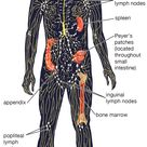 lymphatic system | Structure, Function, & Facts