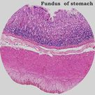 Histology  Fundus of stomach