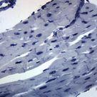 25PK Cardiac Muscle, Mammal   Prepared Microscope Slide   75x25mm