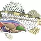 1000 Piece Puzzle. Cross-section diagram of a bony fish