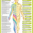 Anatomy Posters human Body Nervous System Charts
