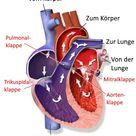 Herz-Kreislauf-System | Beschreibung und Funktionen