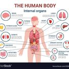 Human body internal organs and parts info poster vector image on VectorStock